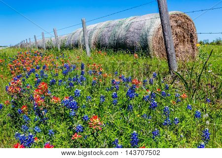 A Meadow on a Farm or Ranch with Dry Round Hay Bales of Texas Grasses used to Feed Cattle Next to Beautiful Fresh Texas Wildflowers in Spring Including Bright Indian Paintbrush and Texas Bluebonnets.
