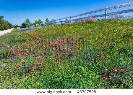 A Beautiful Texas Roadside of Various WIldflowers but Mostly of Bright Orange Indian Paintbrush (or Prairie Fire) Wildflowers in the Texas Hill Country, with White Wooden Fence. Castilleja foliolosa.