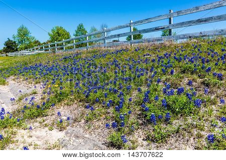 A Patch of the Famous Texas Bluebonnet (Lupinus texensis) Wildflowers Near an Old White Wooden Fence.