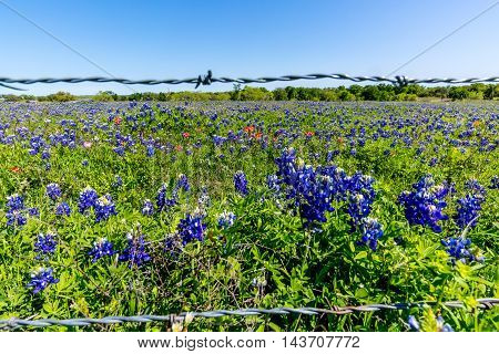 A Wide Angle View of a Beautiful Field Covered with the Famous Texas Bluebonnet (Lupinus texensis) Wildflowers.  Showing barbed wire.