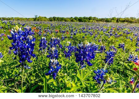 A Closeup View of Beautiful Texas Bluebonnet (Lupinus texensis) Wildflowers in a Field.