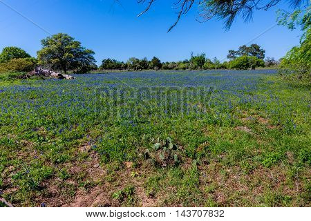 A Wide Angle View of a Beautiful Field Covered with the Famous Texas Bluebonnet (Lupinus texensis) Wildflowers.