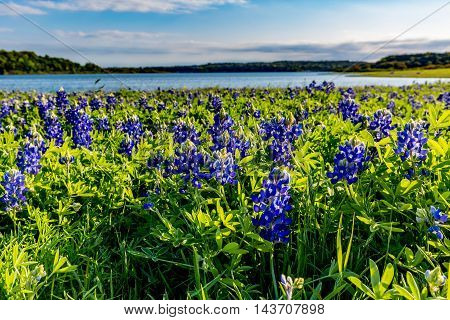 A Closeup Perspective of Beautiful Famous Texas Bluebonnet (Lupinus texensis) Wildflowers in Late Afternoon Sun at Muleshoe Bend on Beautiful Lake Travis in Texas.