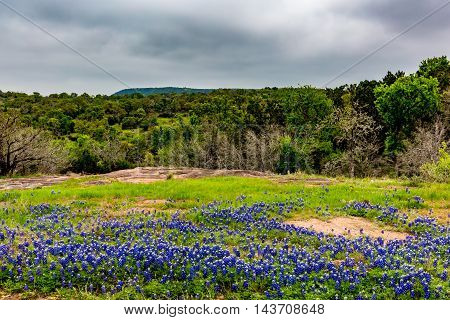 Beautiful Field Blanketed with the Famous Texas Bluebonnet (Lupinus texensis) Wildflowers on the Willow City Loop.