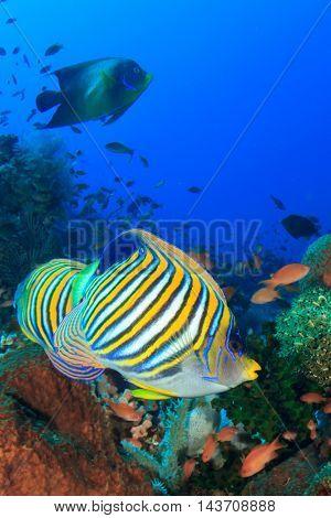 Reef fish (Regal Angelfish)