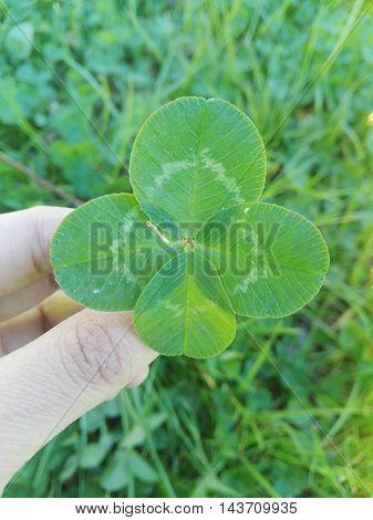 Trébol 4 hojas sobre una mano con fondo de pasto.