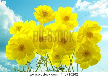 Beautiful yellow color of cosmos flower background
