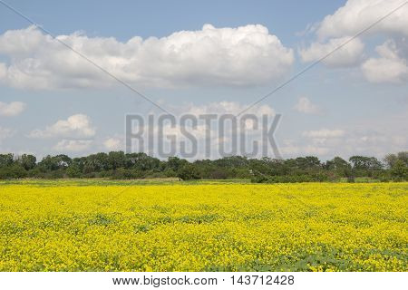 A field of flowering rapeseed. Beautiful summer rural landscape