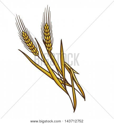 Ripe ears of wheat. Vector illustration. Isolated on white.