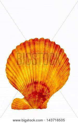 Sea shell of mollusk isolated on white background close up