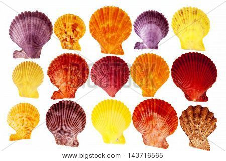 Collection colorful sea shells of mollusk isolated on white background .