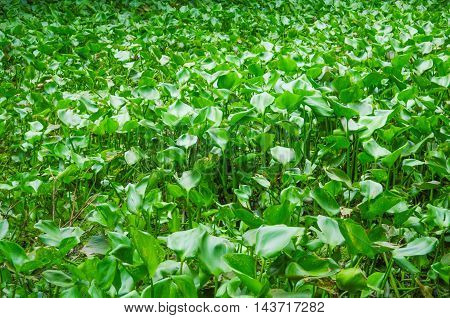 The lots of green leaves of hyacinth in river