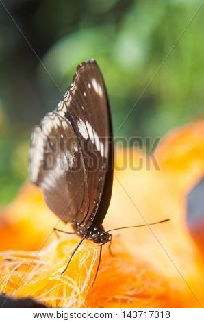 a brown Butterfly Suck nectar from palmyra