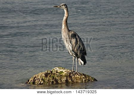 heron standing on a rock in the water