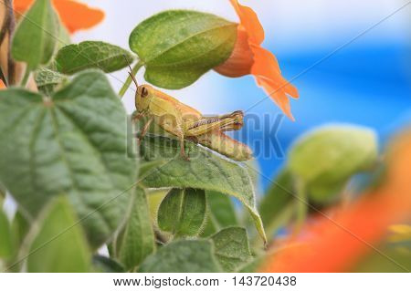 Grasshopper hiding in the orange flowers and leaves