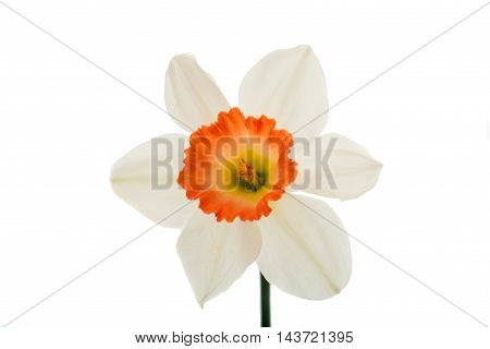 white narcissus  flower on a white background