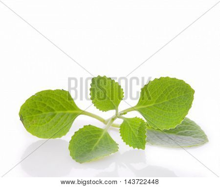 Patchouli sprig. Isolated on white background