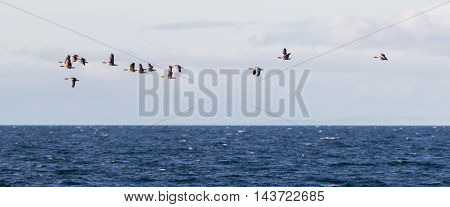 Flock Of Geese Anser Albifrons Flying Over The Atlantic Ocea