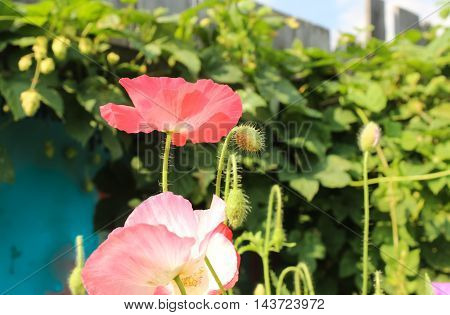 Red and pink poppies in a flowerbed
