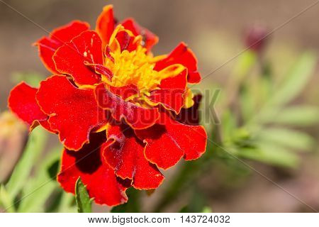 Red flower of marigold. Close up small depth of sharpness copyspase on the right