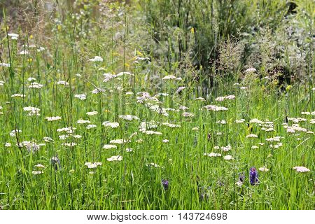 Summer meadow with flowers of yarrow and herbs