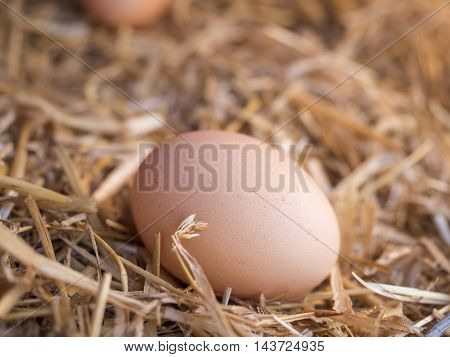 Close-up natural brown chicken eggs on a bed of straw. Eggs on the roost close up with blurred background and the soft, selective focus