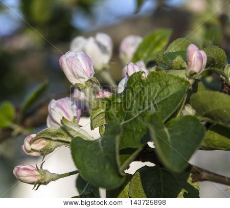 Flowers and buds in close up. White flowers and pink buds in close up, macro on an apple tree, twig.