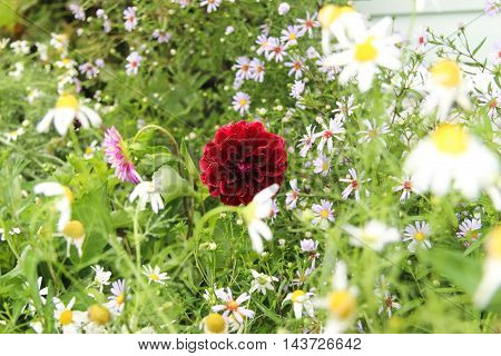 Dahlia and daisies in a summer garden