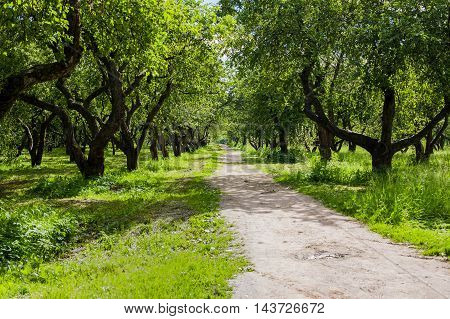 Apple Trees Alley With Road