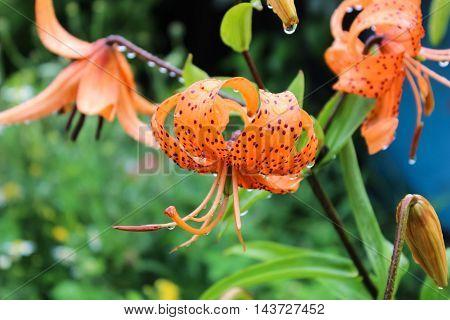 Bright orange lilies in the summer garden