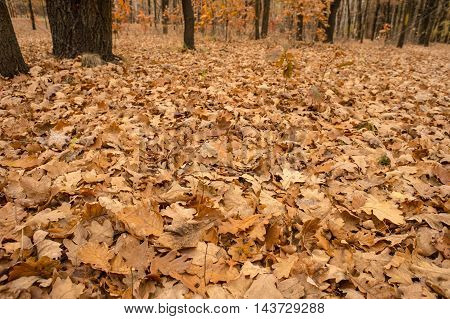 Dry oak leaves on the ground for background