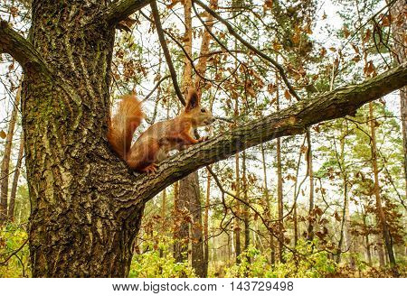 Squirrel sitting on a tree branch in autumn forest