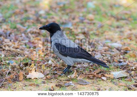 portrait of a crow closeup in autumn