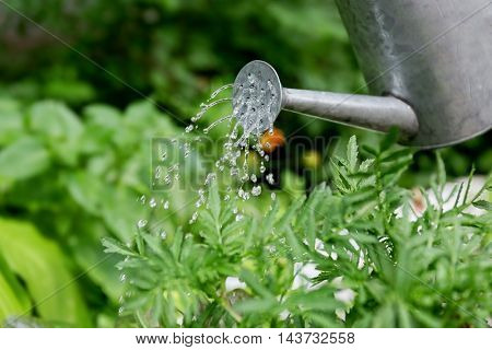 Plants watered from watering can in garden