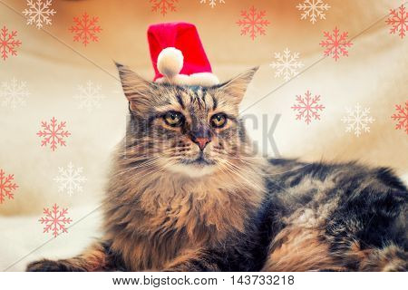 Main coon cat with Santa's hat and Snowflakes - Christmas concept