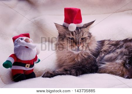 Main coon cat with Santa's hat and Santa - Christmas concept
