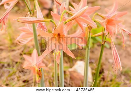 Hippeastrum Johnsonii Bury Or Amaryllidaceae