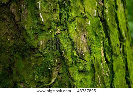 Texture of pine bark,  moss on bark