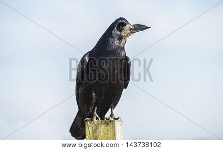 Rook, Perched On A Post, Close Up