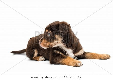 puppy  small dogs on a white background