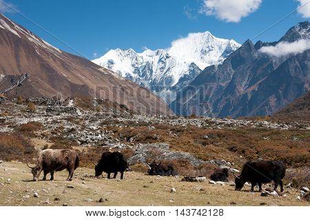 Yaks in upper Langtang Valley with Mt. Shishapangma and Langshisa Peak Langtang National Park Rasuwa District Bagmati Nepal.