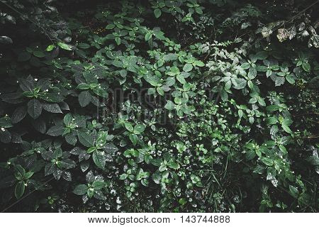 Vintage picture of a green foliage after rain. Toned leaf background.