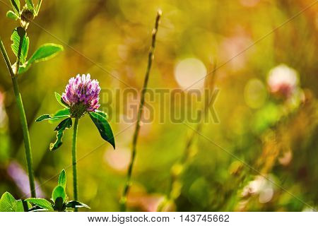 Photo of clover on natural blurred background