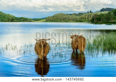 Two Highland calves chilling out in Loch Archay in Loch Lomond and The Trossachs National Park.