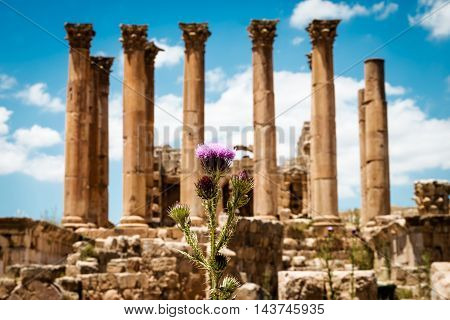 Thistle near the Temple of Artemis in the ancient Roman city of Gerasa Jerash Jordan. Selective focus.