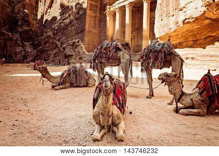 Bedouin camels resting near the treasury Al Khazneh Jordan Petra.