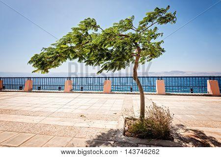 Tree on embankment of Red Sea in Aqaba Jordan