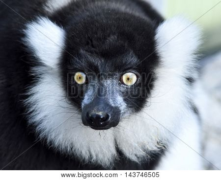 Black and white colored lemur, close-up of a madagascar meerkat.