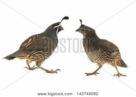 Female and male California Quail on a white background