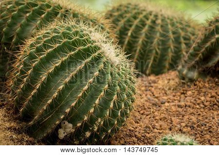 Cactus in desert. Domestic cactus close up.